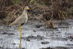 Free African Wattled Lapwing Stock Photos - 56853923