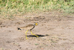 A African Wattled lapwing Stock Image
