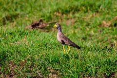 African wattled lapwing foraging Royalty Free Stock Images