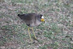African wattled lapwing Stock Images