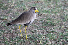 African wattled lapwing Stock Photo