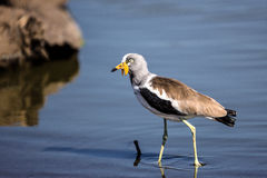 African Wattled Lapwing in Kruger National Park Royalty Free Stock Photography