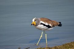 White-crowned lapwing (Plover) (Vanellus albiceps) Stock Photos