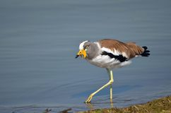 White-crowned lapwing (Plover) (Vanellus albiceps) Royalty Free Stock Image