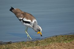 White-crowned lapwing (Plover) (Vanellus albiceps) Royalty Free Stock Photo
