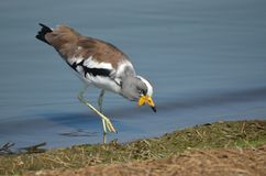 White-crowned lapwing (Plover) (Vanellus albiceps) Stock Image
