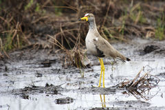 African Wattled Lapwing Royalty Free Stock Photo