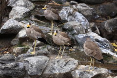 African wattled lapwings Stock Photography