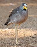 African wattled plover Stock Image