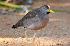 African wattled plover Stock Photos