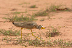 African Wattled Plover crouching Royalty Free Stock Photography