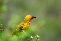 African Weaver Bird. Full body of a beautiful little yellow African Weaver bird (Ploceus) sitting in a bush and watching in a game park in South Africa Royalty Free Stock Photos