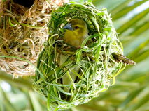 African weaver bird in its nest. Stock Photography