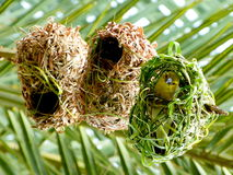 African weaver bird in its nest. Royalty Free Stock Photos