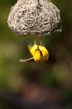 African Weaver. A weaver bird in South Africa's Madikwe Game Reserve Stock Image