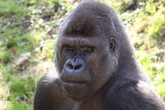 African western lowlands gorilla. Male silverback looking menacingly stock image