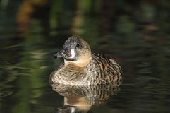 African White-back Duck Royalty Free Stock Photo