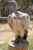African white backed vulture Royalty Free Stock Photo