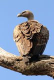 African White-backed Vulture. (Gyps Africanus) on a Branch, Serengeti, Tanzania Royalty Free Stock Photos
