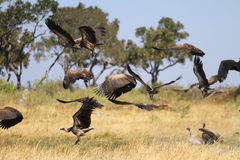 Free African White-backed Vulture Stock Photos - 32235483
