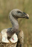 African white-backed vulture Stock Photography