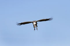 African White-backed Vulture on blue sky Royalty Free Stock Images