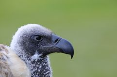 African white backed vulture. Royalty Free Stock Image