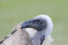 African white backed vulture. Royalty Free Stock Photo