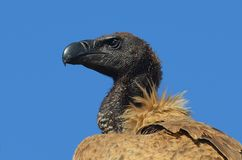 African White-backed Vulture (Gyps africanus) Stock Photo