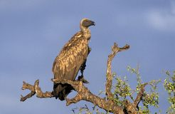African White-backed vulture, Gyps africanus Stock Image