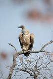 African white-backed vulture, Gyps africanus Stock Photo