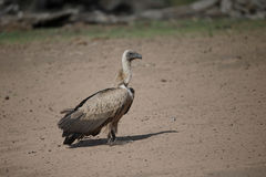 African white-backed vulture, Gyps africanus Royalty Free Stock Photography