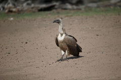 African white-backed vulture, Gyps africanus Royalty Free Stock Photo