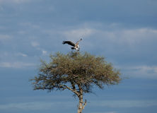 African White-backed Vulture landing Royalty Free Stock Photography