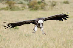 A African White-backed Vulture landing Stock Photography