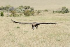 A  African White-backed Vulture at Masai Mara Park Stock Photo