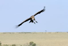 African White-backed Vulture observing the ground Stock Photo