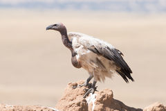 African white-backed vulture perched on termite mound Stock Images