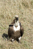 A African White-backed Vulture resting in savanna Royalty Free Stock Photos