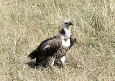 African White-backed Vulture sitting on the grass Stock Photos