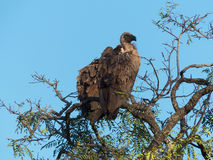 African white-backed vulture Royalty Free Stock Photography
