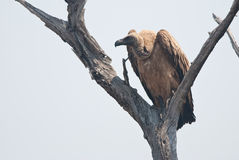 African white-backed vulture Stock Photos