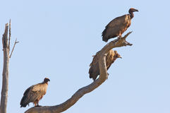 African White Backed Vultures Stock Photo