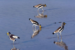 African White-Crowned Lapwing - Botswana Stock Photo