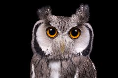 African White Faced Owl closeup Royalty Free Stock Image