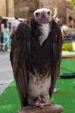 African White headed Vulture. White-headed Vulture on display outdoors at medieval fair stock photography