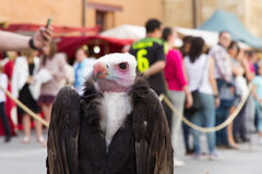 African White headed Vulture Royalty Free Stock Photos