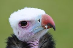 African white headed vulture. Royalty Free Stock Photos