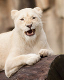 African white lion Royalty Free Stock Photography
