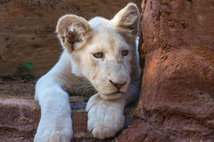 African White Lion Cub Royalty Free Stock Photography